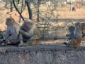 Roadside-monkeys-4
